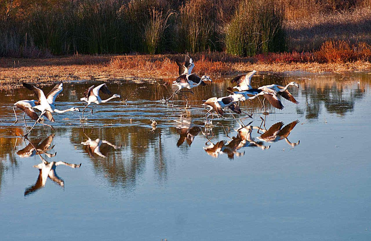Flamingos starten in der Ria Formosa
