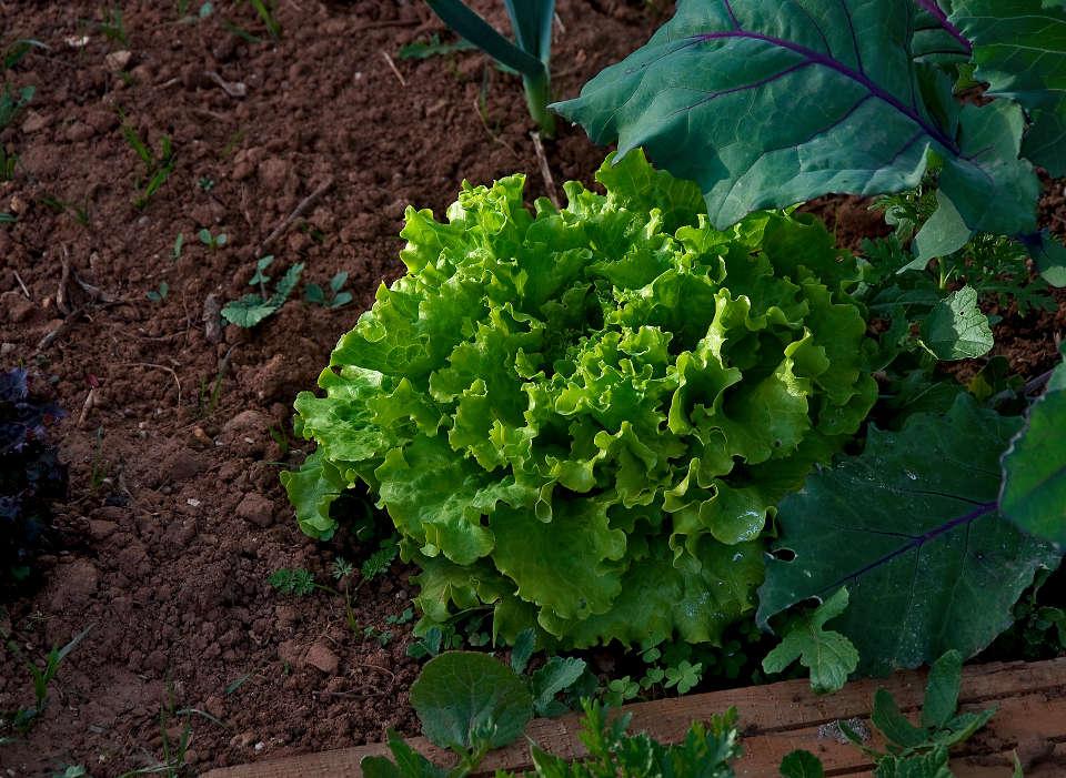 Eigen angebauter Salat