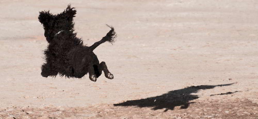 Portugiesischer Wasserhund springt