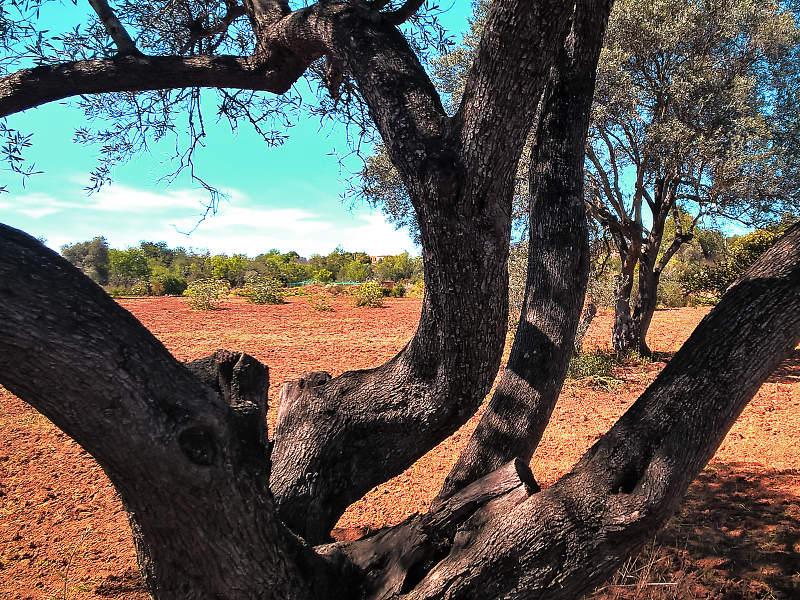 Olivenbaum und rote Erde